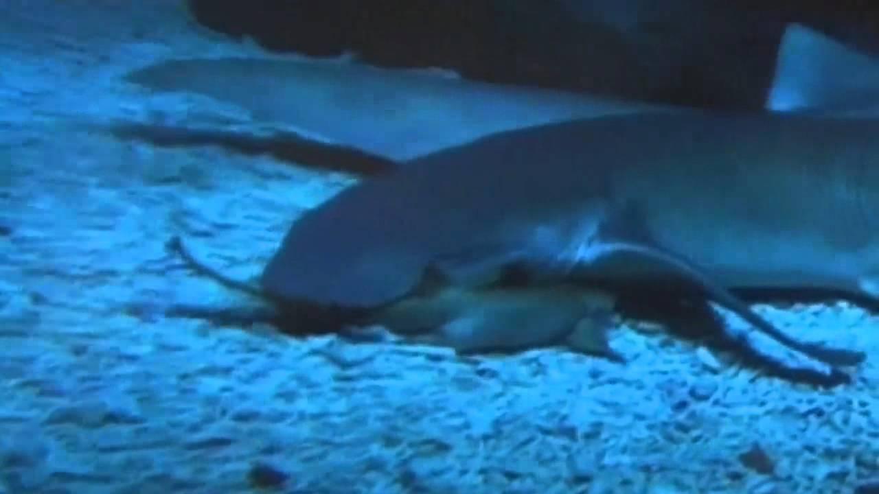 Baby nurse shark birth captured on camera youtube for Baby sharks for fish tanks
