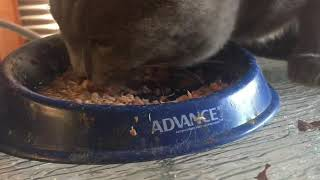 ASMR Mukbang Russian blue Cat Eating Tuna (wait till the end)