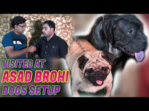 Visited at Asad brohi Dogs setup Neapolitan mastiff for sale Jamshed Asmi Informative Channel
