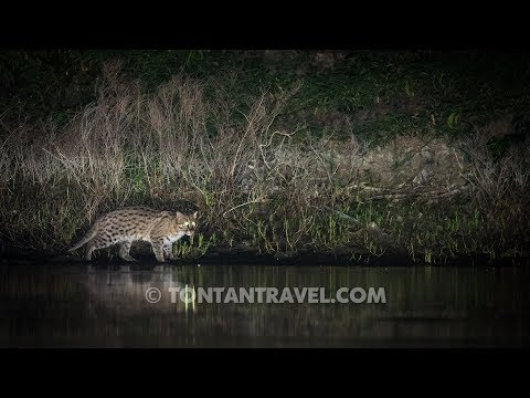 Fishing cat hunting in Thailand