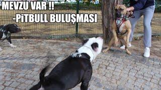 MEVZU VAR -PİTBULL BULUŞMASI (Pitbullar Karşı Karşıya geldi, Pitbull Etkinliği istanbul ) Power dogs
