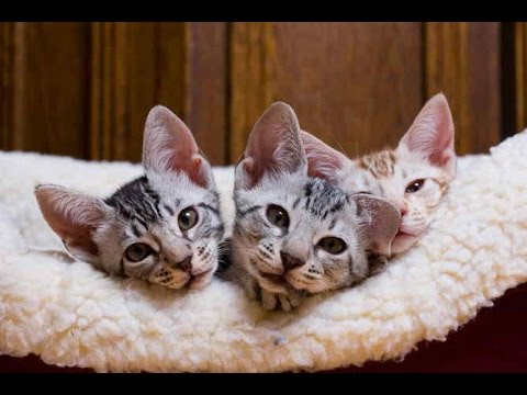 Ocicat | History of the Hot Ocicat and Kittens