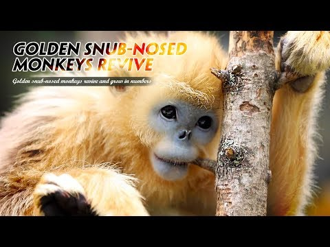 Live: Golden snub-nosed monkeys revive and thrive  神农架金丝猴数量增长