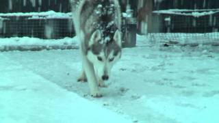 Husky Escapist -  The Freak Snow Storm In Upper Hutt 2011