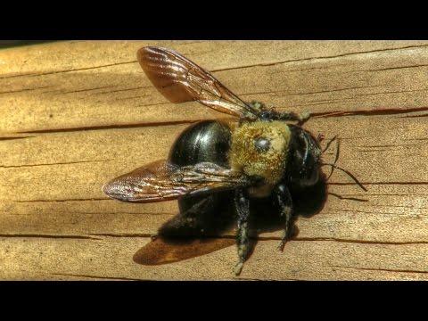 Large Carpenter Bee Sounds - Close Up