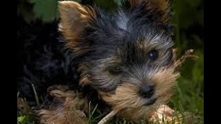 #62 CAIRN TERRIER 3/3 | Which Dog Should I Get? Dog Breed Selector