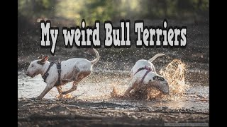 Bull Terrier blooper compilation: My dogs being weird