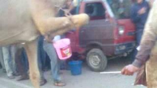 Camel Qurbani.(Oonth)