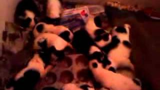 14 English Springer Spaniel Puppies, Eating Soft Food Out Of The Muffin Tins.