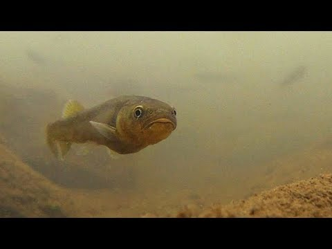 Native Fish: Dargo Galaxias (Galaxias Mungadhan)