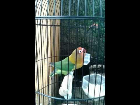 Lovebird ngekek panjang gaya duduk manis Mgs.icalL