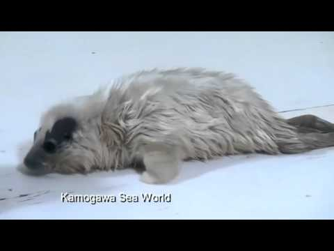 Baby ring seal at Japanese aquarium