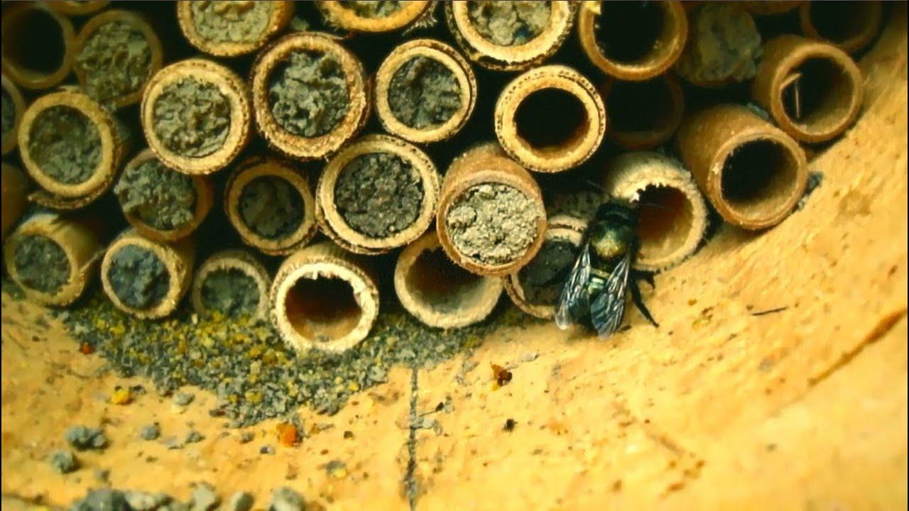 mason bees micro documentary youtube