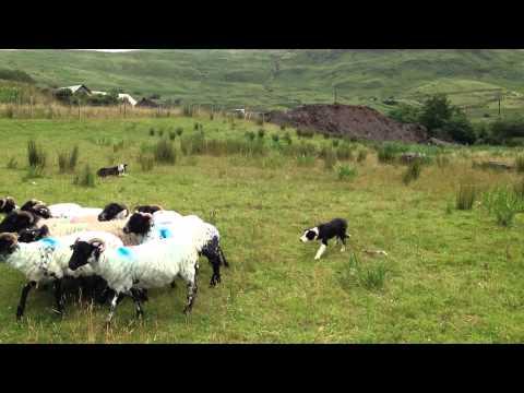 Joyce Country sheepdog demonstration