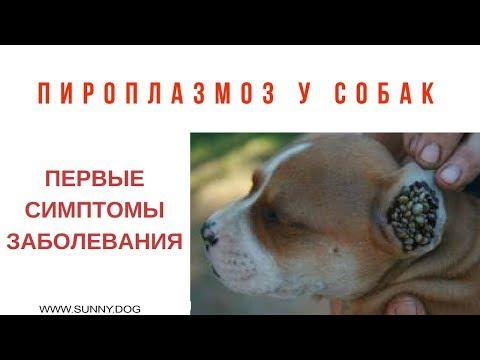 Пироплазмоз у собак.  Что делать если укусил клещ?  Первые симптомы заболевания.