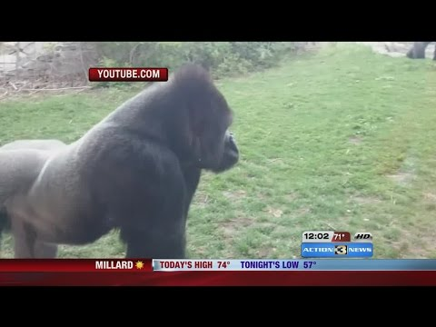 VIRAL: Video shows gorilla break window at Omaha's Henry Doo