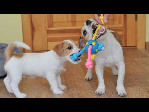 New toy for dogs. Testing a new puppy toy / funny dog jack russell terrier / cute puppy / cute dog