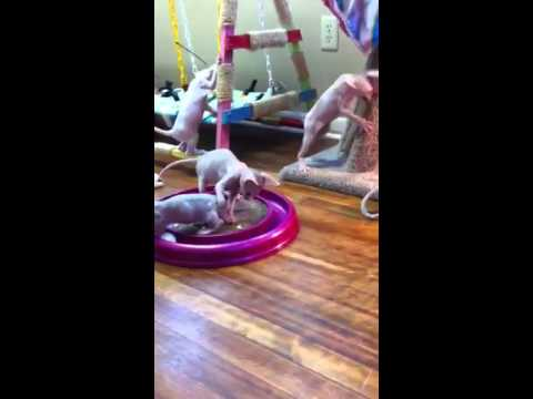 Playful Sphynx and Bambino kittens