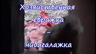 Хозяйственная евражка - чибагалажка. (Якутия, река Чибагалах) 2020 год