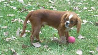 Cavalier Chilly