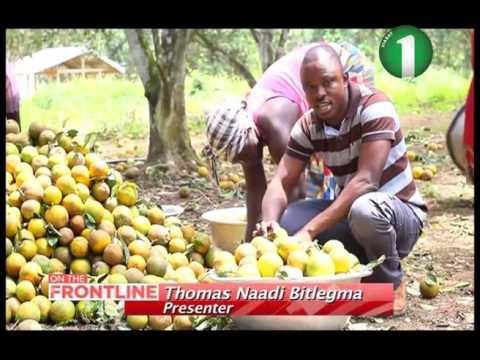 FRUIT FLY INFESTATION IN GHANA