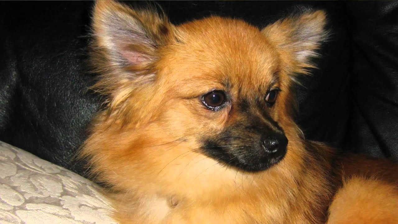 pomeranian mixes pomeranian chihuahua mix youtube 2203