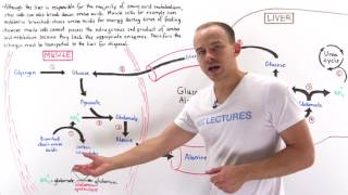 Glucose-alanine cycle