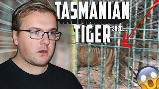 IS THIS A TASMANIAN TIGER IN 2020?