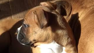 Немецкий боксер воспитание щенка уход кормление первые азы в воспитании щенка Шаповаловы влог