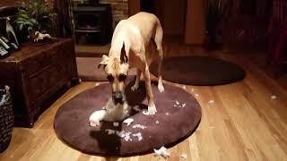 Busted!  Great Dane gutting teddy bear
