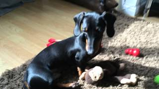 Don't Say Poop!! Funny Puppy Dachshund