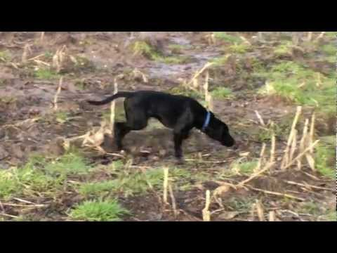 Ottis the German Pointer cross Labrador puppy dog