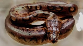 LAST RETIC EVER and it looks like an ANACONDA! worth the wait?