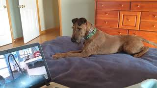 20201018 Irish Terrier Boden checking out a laptop