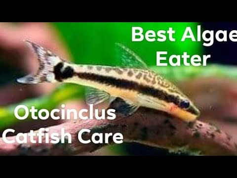 Otocinclus Catfish Care Guide |Caresheet |BEST Natural Algae Eater For Aquarium|The Best Algae Eater