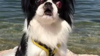Amebaブログ「狆犬ちづひめ」2018年4月21日投稿をご覧ください。