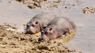 The Noise Made by Wild Hippos Can Be Deafening
