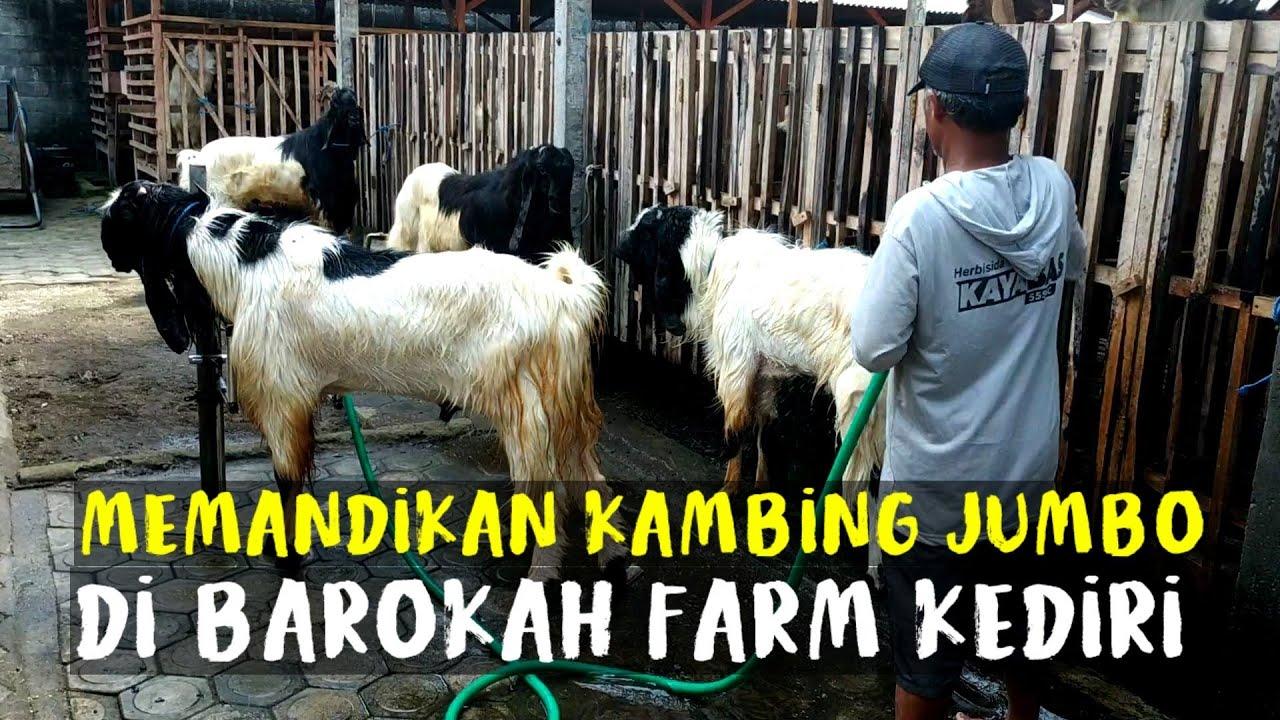 Memandikan Kambing Qurban Jumbo di Barokah Farm Kediri | Sahabat Sapi Dolan Kandang