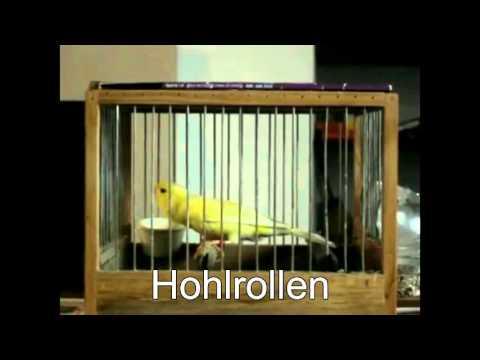 RCSP - Canário de canto Harzer Roller - Tours básicas legendadas