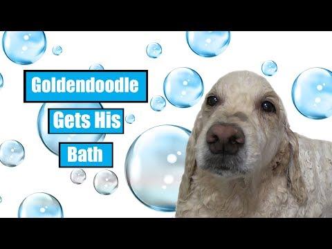 Goldendoodle Gets His Bath