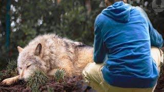 Этот мужчина спас волчицу, а потом через несколько лет она спасла его жизнь