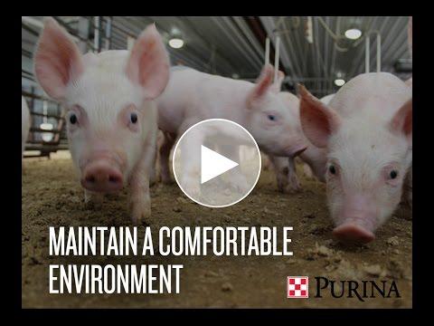 Swine Management: Maintain a Comfortable Environment