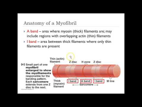 Sarcomere and Muscle Contrations (H,I,A,Z bands)
