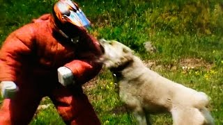 Central Asian Shepherd Dog fights Man defending – TEST 43 - Nero