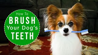 How To Brush Your Dogs Teeth EASY Steps // Percy the Papillon Dog