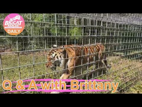 Q&A with Brittany~ Kali Tiger goes on Vacation~ 3.7.2019