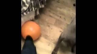 Blue Parish - Blind Weimaraner Dog With Diabetes, Pancreatitis And Gas