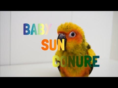 NEW BABY SUN CONURE!