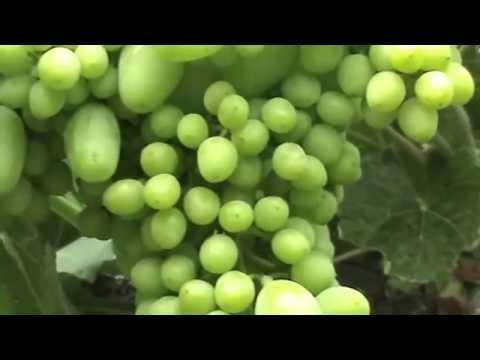 Всё о винограде - виноградарство, сорта винограда, виноделие
