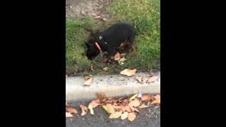 Min Pin Cody Hunting For Bugs In  Torrance Ca